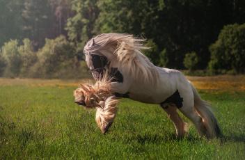 обоя животные, лошади, хвост, грива, лошадь, окрас