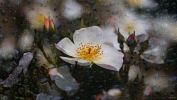обоя цветы, розы, bud, rose, роза, лепестки, листья, цветение, blossoms, leaves, бутон, petals