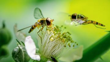 обоя животные, пчелы,  осы,  шмели, осы, пара, цветы, тычинки