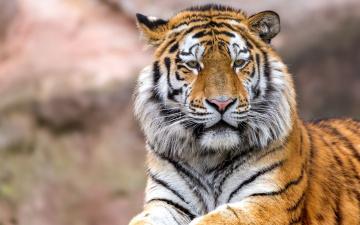 обоя животные, тигры, морда, профиль, взгляд