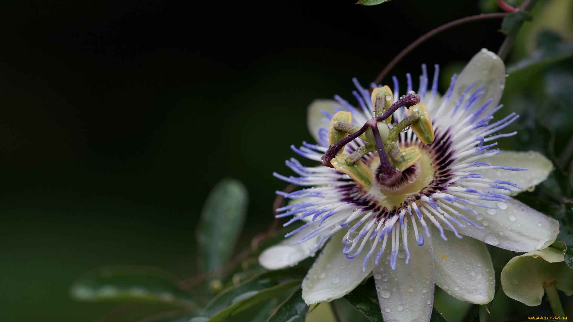 Фото цветов с усиками
