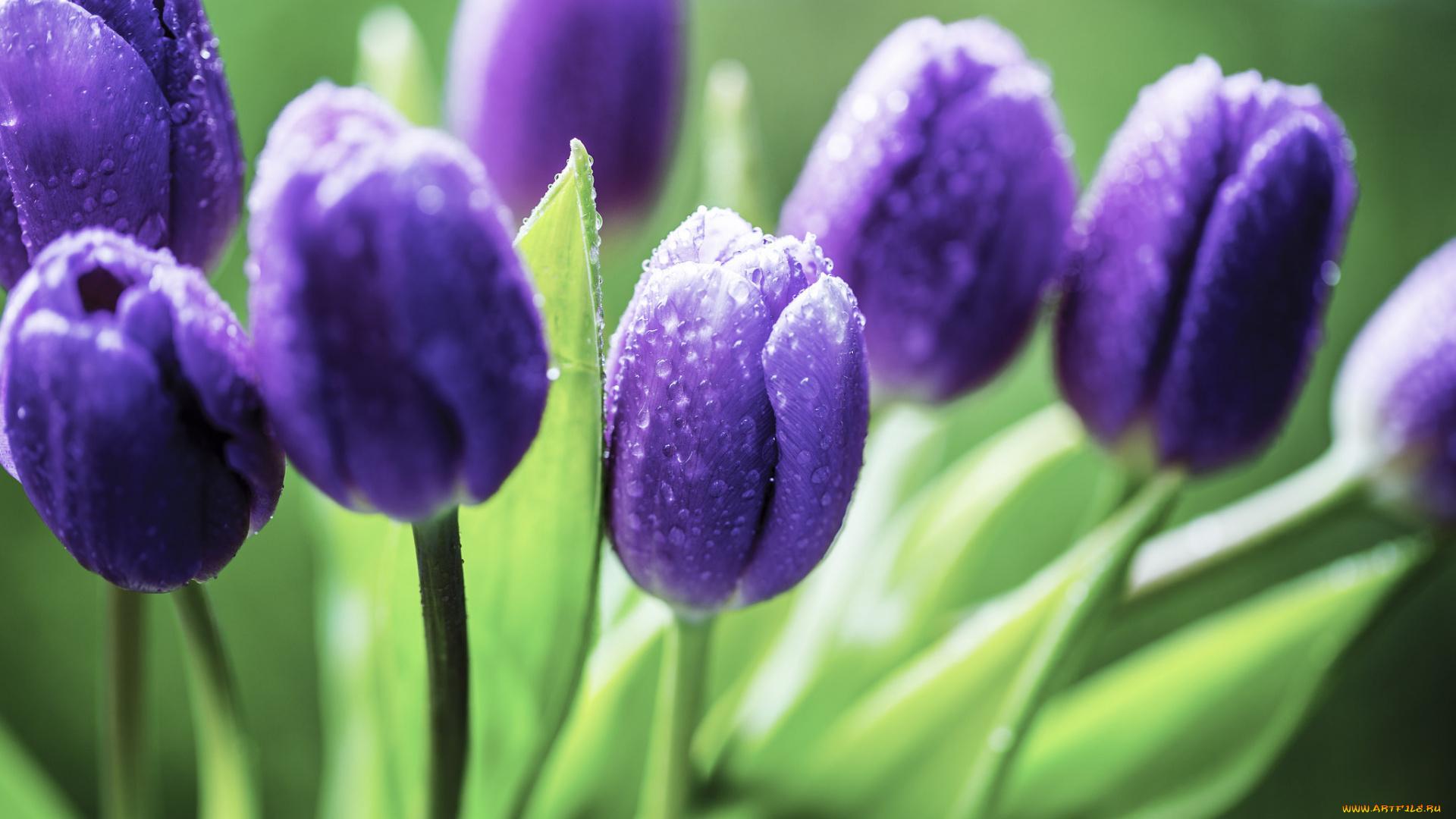 Фиолетовые тюльпаны в саду  № 1325887 загрузить
