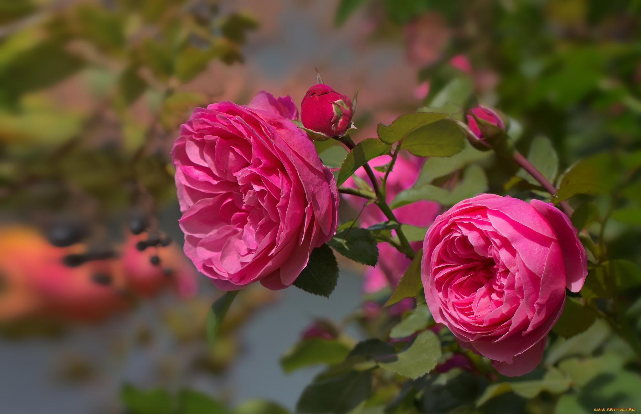 Обои на рабочий стол цветущие розы