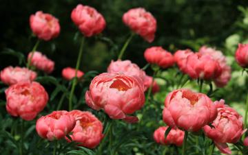 Картинка цветы пионы розовый кусты листья лепестки бутоны цветение