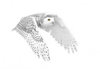 Картинка животные совы полярная сова фон полёт