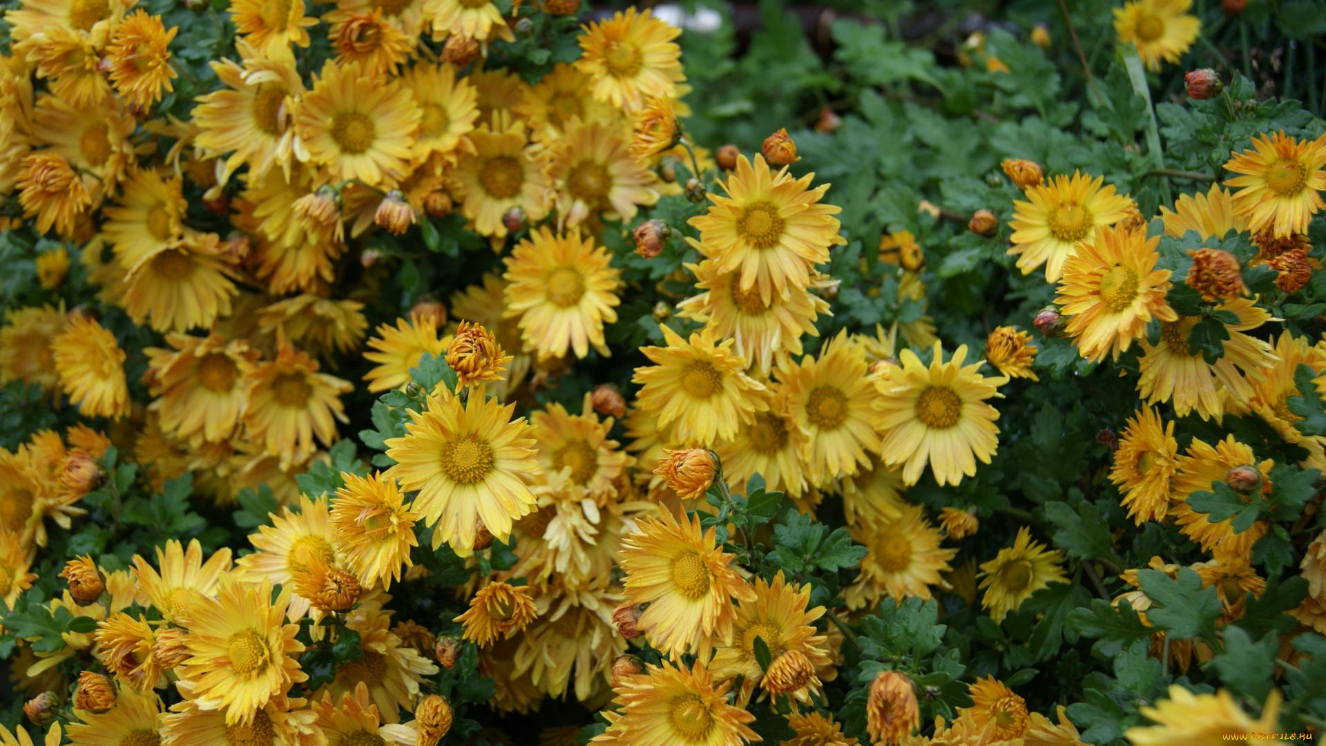 природа цветы Хризантема бесплатно