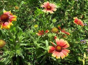 обоя louka, цветы, гайлардии, гелениумы