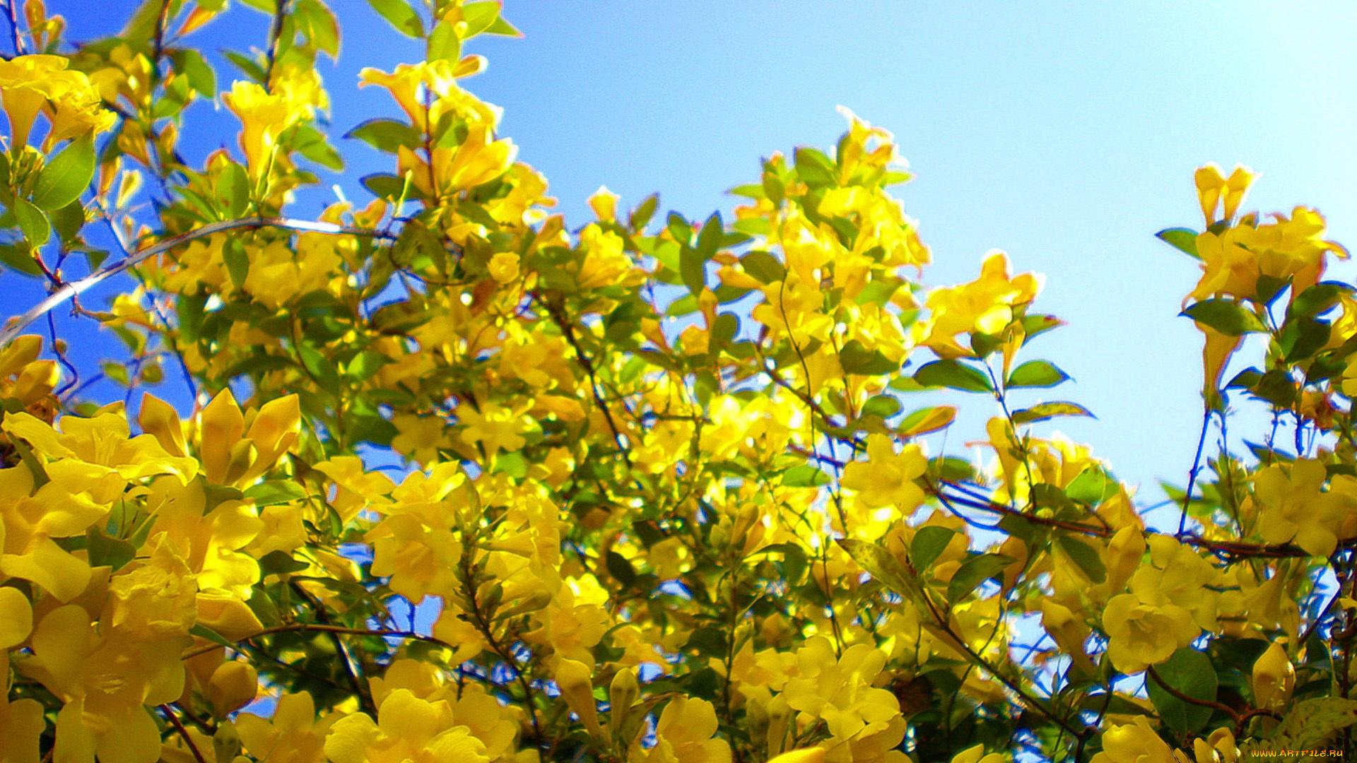 Цветение желтые подборки