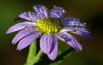 Картинка цветы маргаритки сиреневый цветок лепестки капли роса утро