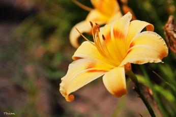 Картинка цветы лилии лилейники желтый