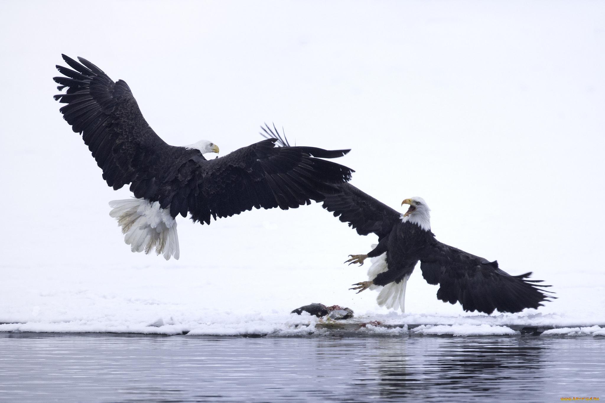 Обои eagle, beak, the, клюв, winter. Животные foto 13