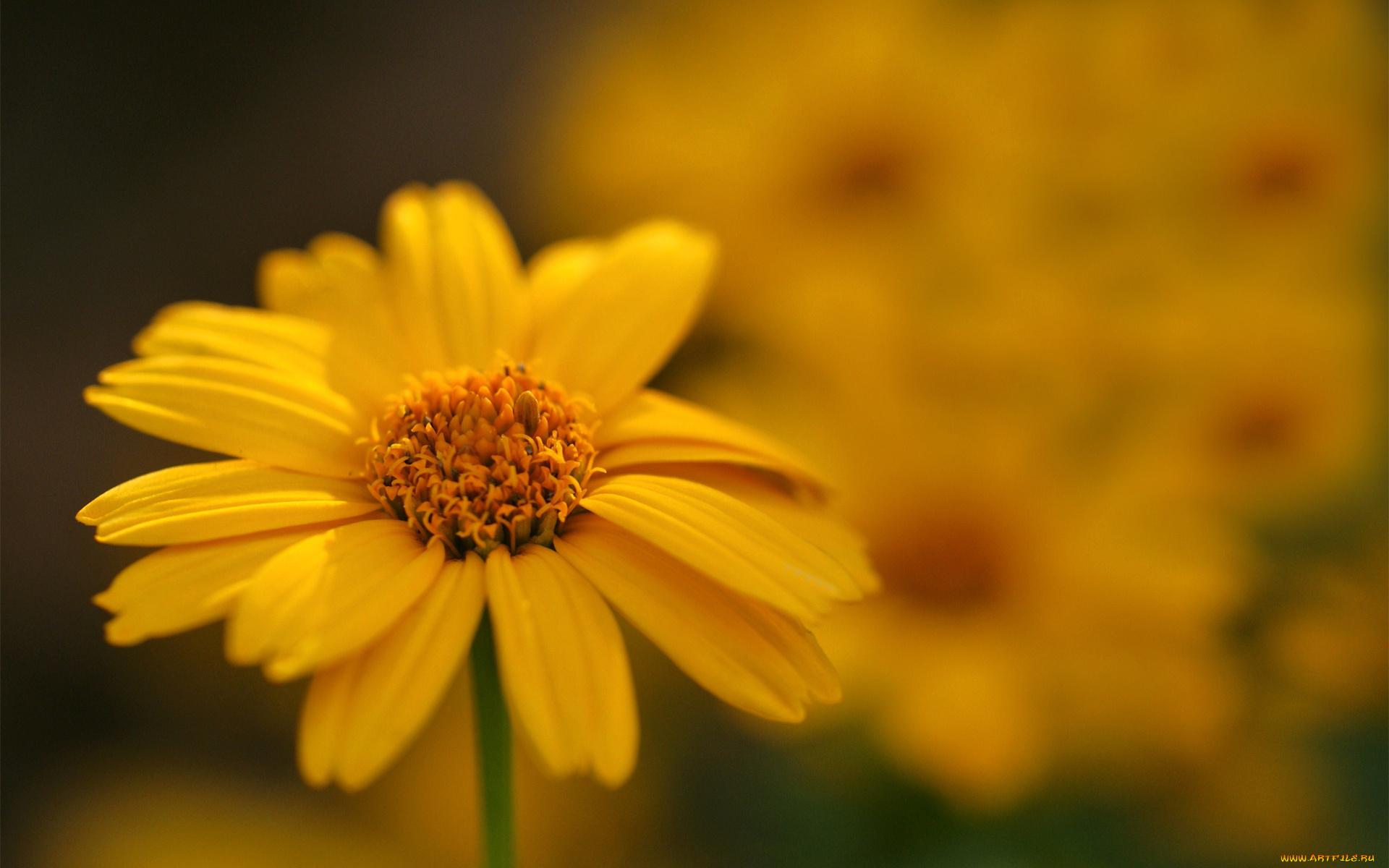 Желтые ромашки цветы желтые цветы размытость  № 3831001 без смс
