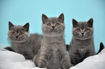 Картинка животные коты котята серые бирюзовый фон британские трое