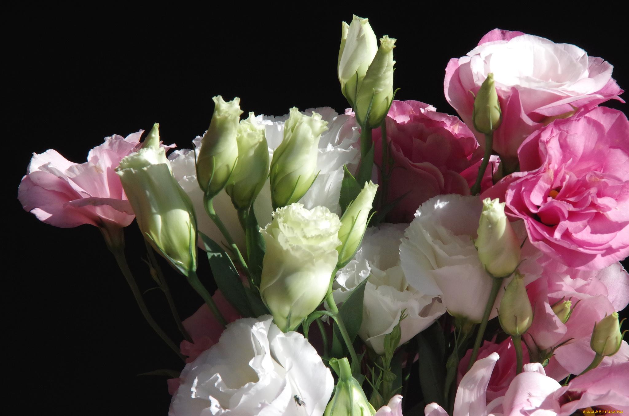 обои для рабочего стола эустома цветы № 634116 бесплатно