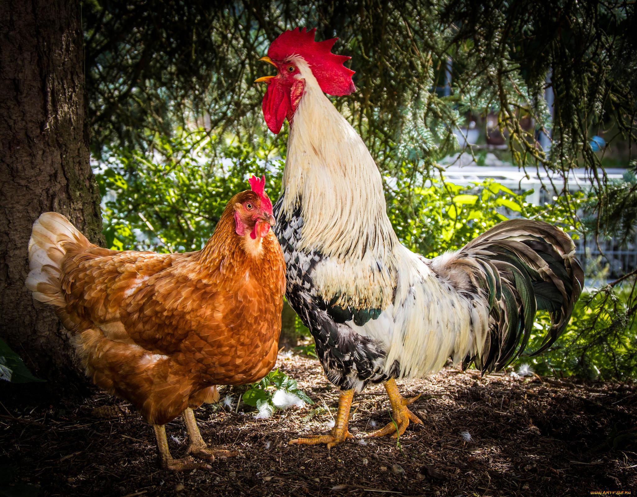 Днем рождения, картинки петуха и курицы