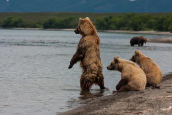 обоя животные, медведи, река