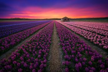 обоя цветы, лаванда, лаванды, поле, закат