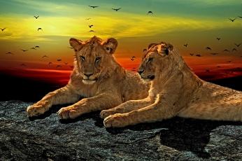 обоя животные, львы