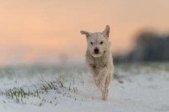 обоя животные, собаки, собака, бег