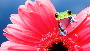 обоя животные, лягушки, лягушка, цветок, розовый, гербера