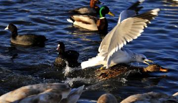 обоя животные, разные вместе, вода, утки, водоплавающие, птицы, лысухи, чайка