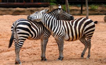 обоя животные, зебры, ласка, загон, песок, пара
