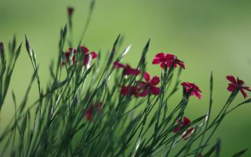 обоя цветы, гвоздики, красные, полевые