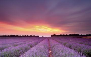 обоя цветы, лаванда, закат, поле
