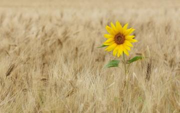 обоя цветы, подсолнухи, одиночество, пшеница, подсолнух, колосья, поле