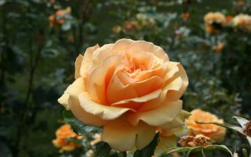 обоя цветы, розы, чайная, роза