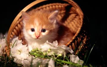 обоя животные, коты, котенок, рыжий, корзина, цветы