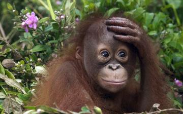 обоя животные, обезьяны, трава, цветы, орангутанг, детеныш, обезьяна