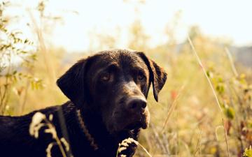 Картинка животные собаки собака охотничья грустная поле трава