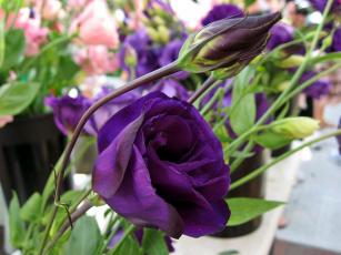 Картинка цветы эустома сиреневый