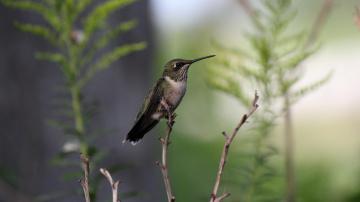 Картинка животные колибри птица трава