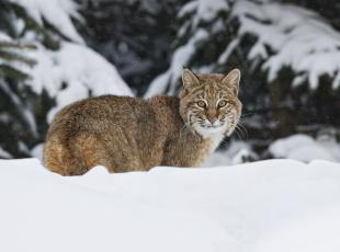 Картинка животные рыси зима снег кошка