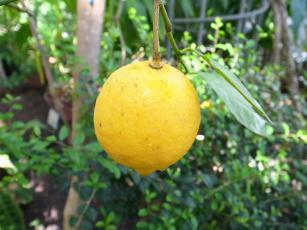 Картинка природа плоды лимон ветка