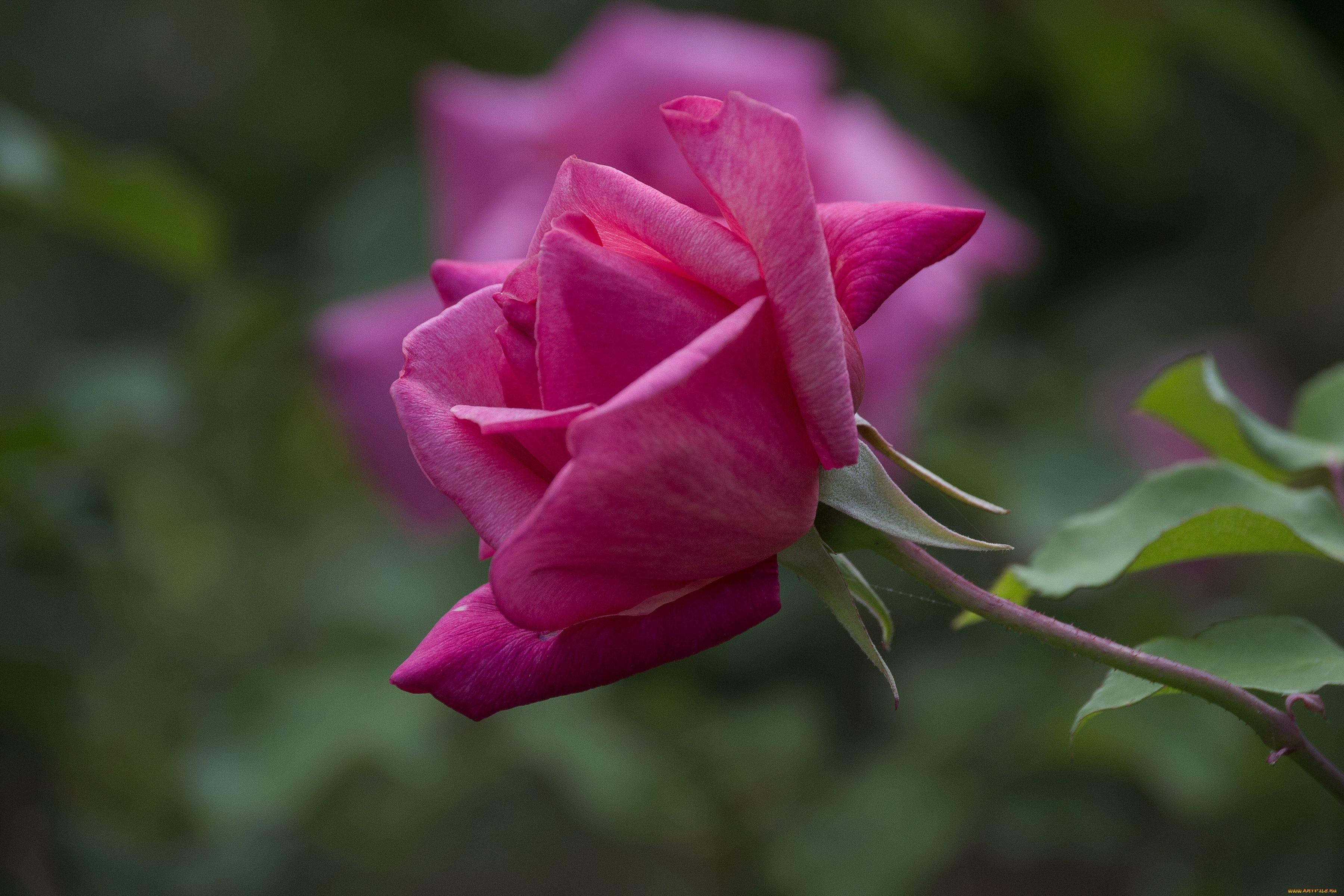 красные розы листья стебли без смс