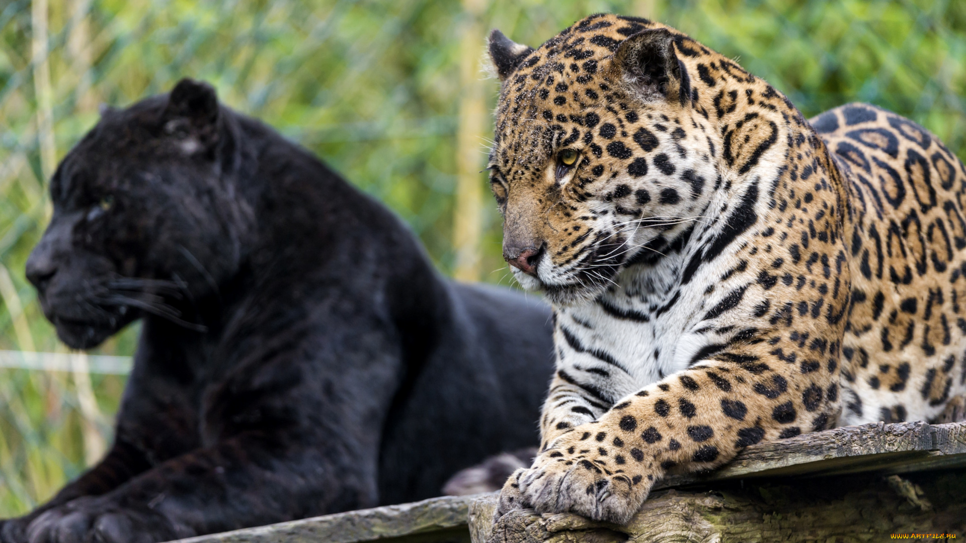 два ягуара смотреть