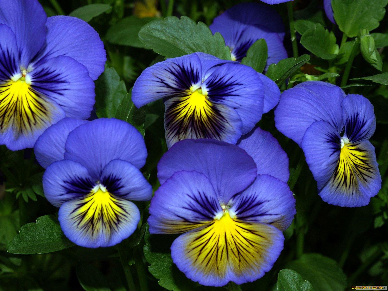 цветы анютины глазки с картинками лишило