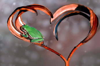 обоя животные, лягушки, сердце, боке, макро, ветка, лягушка