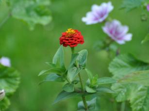 Картинка цветы цинния