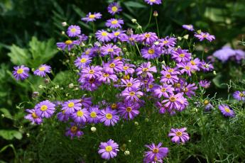 обоя цветы, брахикома, красота, сад, флора, дача, июль, цветение, лето
