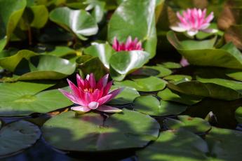 обоя цветы, лилии водяные,  нимфеи,  кувшинки, пруд, красиво, нимфея, лилии, лето, красочно