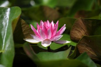 обоя цветы, лилии водяные,  нимфеи,  кувшинки, пруд, лилии, нимфея, лето, красочно, красиво