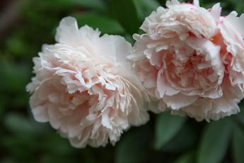 обоя цветы, пионы, пион, бутон, лепестки, листья, цветение