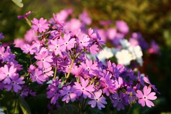 обоя цветы, примулы, флора, примула, сад, май, весна, дача