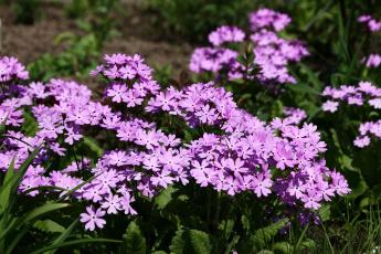 обоя цветы, примулы, май, дача, сад, примула, весна, весеннецветущие