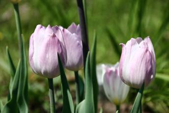 обоя цветы, тюльпаны, капли, цветение, лепестки, бутоны