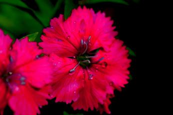 обоя цветы, гвоздики, гвоздика, цветение, макро, лепестки, ярко-розовая